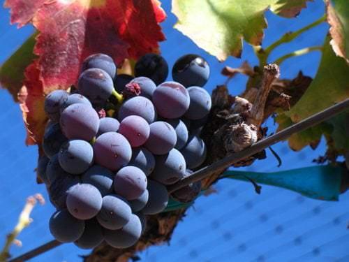 Grenache noir - Vino Culinario