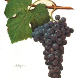 Italienische Rebsorte Aglianico - Vino Culinario