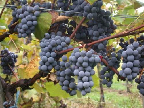 Rebsorte Gamay - Vino Culinario