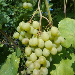 Weinreben der Rebsorte Muscat - Vino Culinario