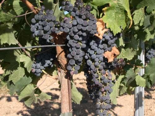 Trauben der Rebsorte Merlot - Vino Culinario