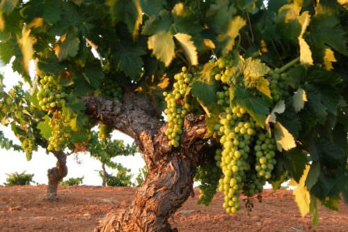 Rebstöcke in der Extremadura, Spanien - Vino Culinario