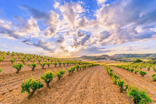 Weinbau / Rebstöcke in Kastilien und León, Spanien - Vino Culinario