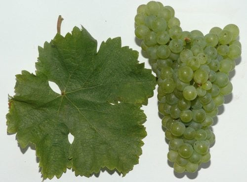 Traube und Blatt der Rebsorte Sauvignon Blanc - Vino Culinario