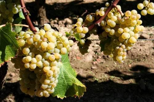 Reben der Rebsorte Sémillon - Vino Culinario