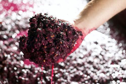 Traubenmaische rote Weintrauben - Vino Culinario