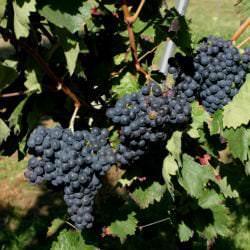 Rotweinsorte Carignan - Vino Culinario