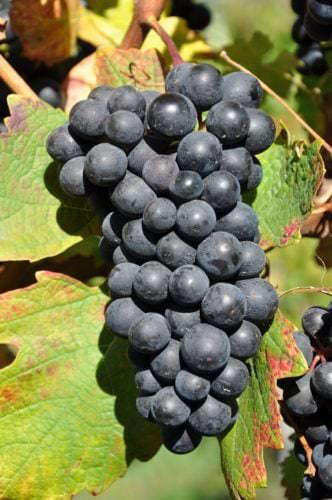 Traube der italienischen roten Rebsorte Barbera - Vino Culinario
