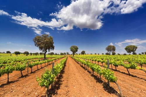Rebstöcke in Kastilien-La Mancha, Spanien - Vino Culinario
