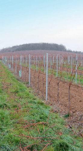 Weinbau in der Region Balatonfelvidék in Ungarn - Vino Culinario