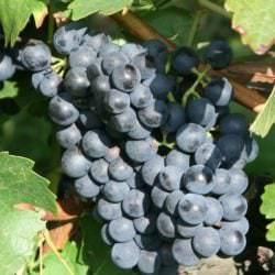 Blauer Portugieser - Vino Culinario