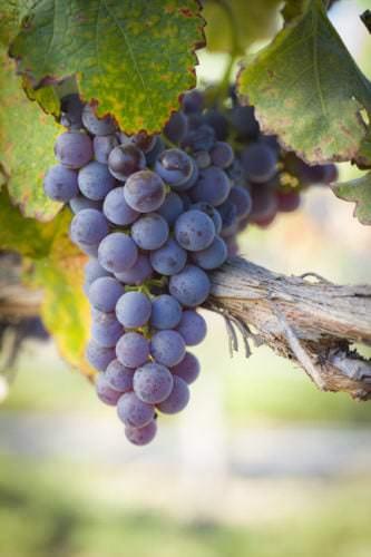 Weintrauben der französischen Rotwein Rebsorte Cabernet Sauvignon - Vino Culinario