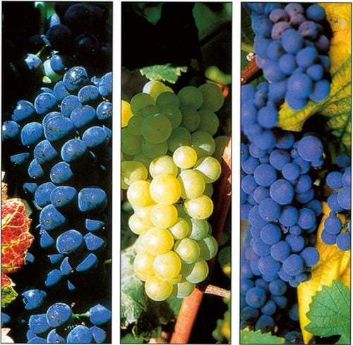 Pinot Noir, Pinot Meunier und Chardonney, die Rebsorten der Champagne - Vino-Culinario
