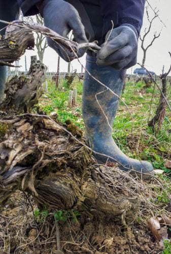 Behutsame Pflege der Rebstöcke in der Champagne - Vino Culinario