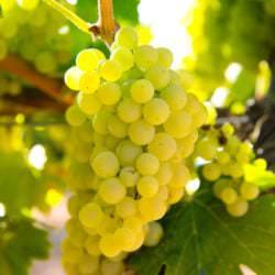 Die Weintrauben der französischen Rebsorte Chardonnay - Vino Culinario