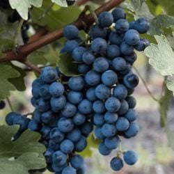 Pinot noir - Vino Culinario