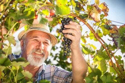 Weinbau mit Leib und Seele. Ein deutscher Winzer bei der Weinlese - Vino Culinario
