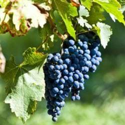 Dornfelder-Rotweintrauben - Vino Culinario
