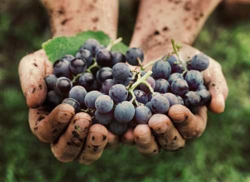 Weinbau wird in Frankreich streng überwacht und kontrolliert - Vino Culinario
