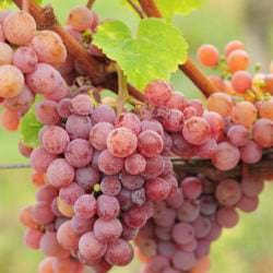 Trauben der Rebsorte Gewürztraminer - Vino Culinario