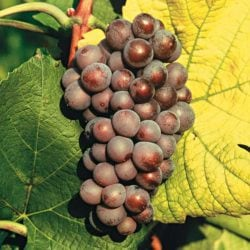 Grauer Burgunder - Vino Culinario