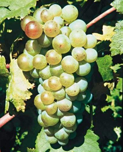 Die Beeren der Weißwein-Rebsorte Gutedel - Vino Culinario