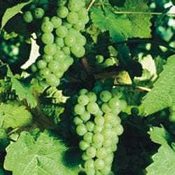 Vino Culinario - Rebsorte Kerner