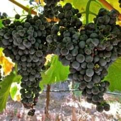 Beeren der Rotwein-Rebsorte Lemberger (Blaufränkisch) - Vino Culinario