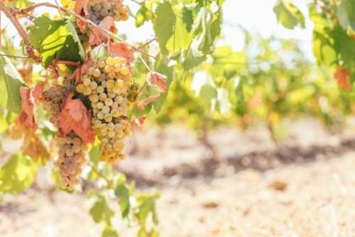 Weiße Weinreben - Gutedel - Vino Culinario