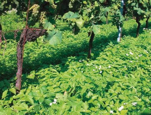 Ökologischer Weinbau, Begrünung