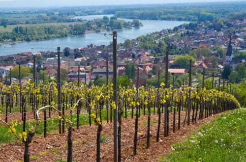Weinbau in der Pfalz - Rebstöcke & Weinberge