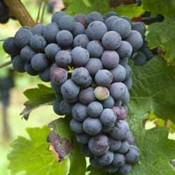 Weintraube der Rebsorte Cabernet Franc