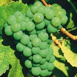 Rebsorte Riesling - Vino Culinario