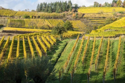 Weinanbau im Herbst in der Pfalz
