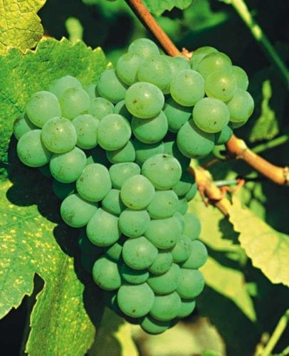 Riesling Weintrauben (Rebsorte, weiß)