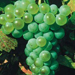 Silvaner-Trauben - Vino Culinario