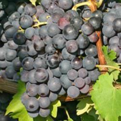 Beeren der Rotwein-Rebsorte Trollinger - Vino Culinario