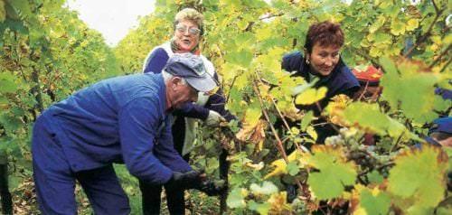 Weintraubenernte im Weinberg - Vino Culinario