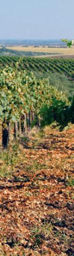 Weinanbau in der Region Etyek - Vino Culinario
