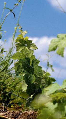 Weinrebe im Anbaugebiet Mór in Ungarn - Vino Culinario
