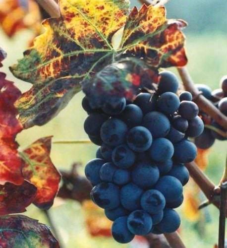 Weinreben im Piemont - Vino Culinario