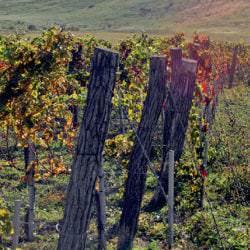 Weinanbau in der Region Balatonfüred-Csopak in Ungarn - Vino Culinario