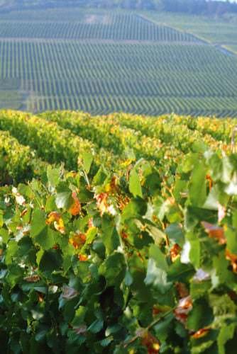 Tokajer so weit das Auge reicht - Vino Culinario