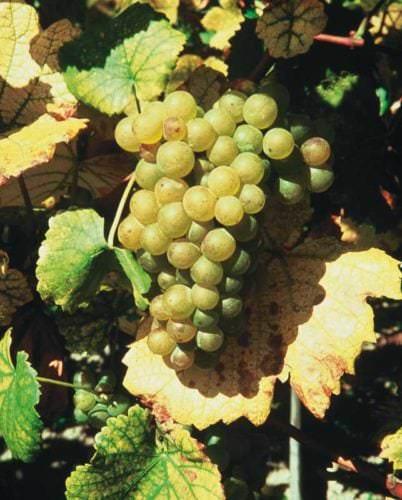 Beeren der Weißwein Rebsorte Weißer Burgunder / Weißburgunder - Vino Culinario